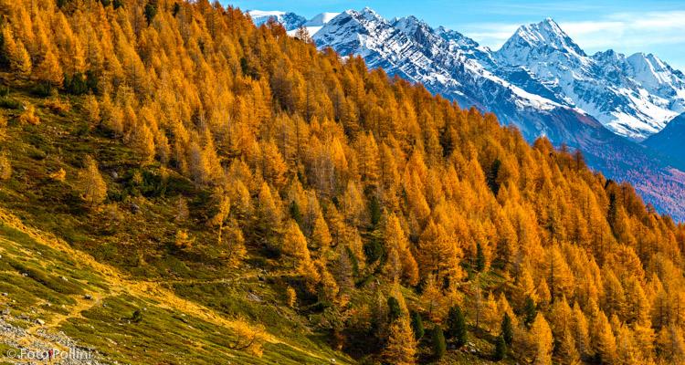 I boschi della valle di Foscagno - sullo sfondo il Gran Zebrù