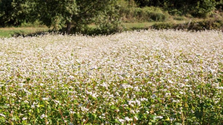 I campi di grano saraceno in fiore, a Teglio (Valtellina)